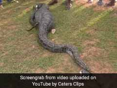 Python Swallows Whole Goat In Assam, Struggles To Move. See Video