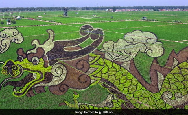 Rice Farmers Turn Paddy Fields Into Stunning Works Of Art. See Pics