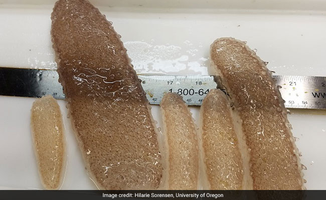 Strange 'Sea Pickles' Keep Washing Ashore In The Pacific Northwest - And Scientists Are Baffled