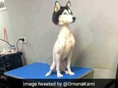 Viral Pic Of Shaved Husky Prompts Debate On Twitter