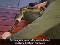 Snake Swallows Pair Of Tongs. Watch The Video If You're Brave Enough