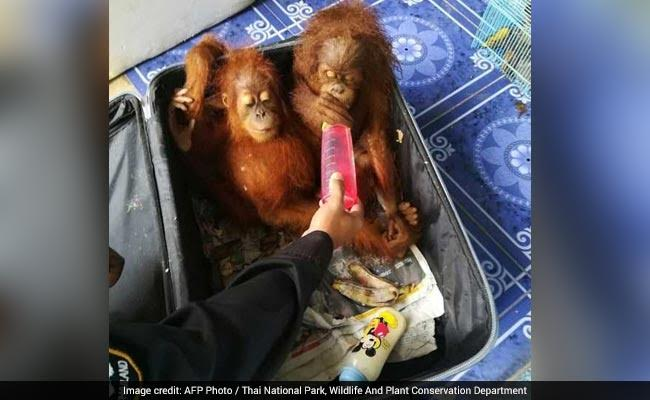 Man Stopped On Thailand Border With Orangutans, Tortoises, Raccoons