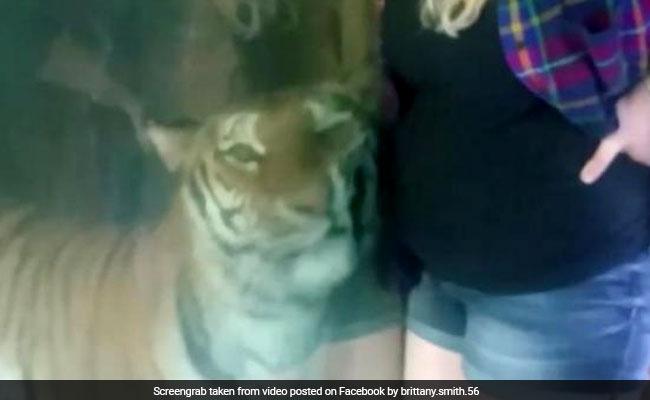 बाघ और प्रेग्नेंट महिला का यह वीडियो हो रहा वायरल, देखकर कहेंगे- कितना क्यूट है ये टाइगर