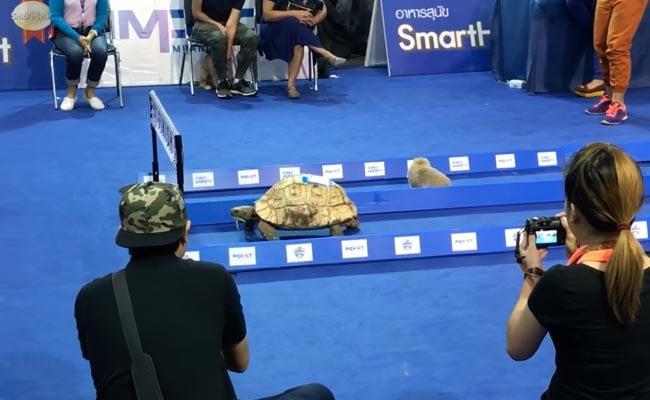 ...और असल जिंदगी में भी कछुए ने खरगोश को दौड़ में हरा दिया, देखें- Video