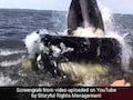Video: How Humpback Whale Almost Caused This Boat To Capsize