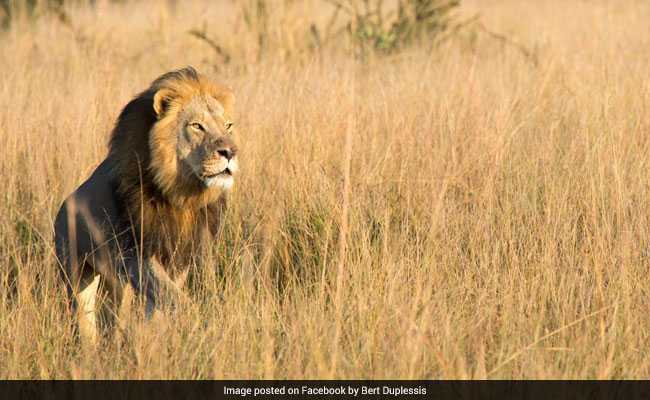 Cecil The Lion's Son Has 'Met The Same fate' - Killed In A Trophy Hunt In Zimbabwe, Officials Say
