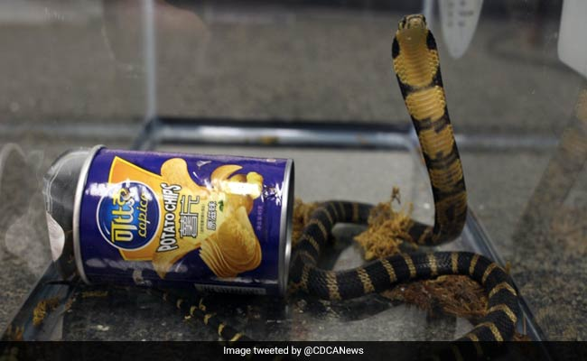 King Cobras Found In Potato Chip Cans. Smuggling Attempt Busted