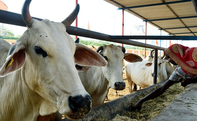 This Cow Shelter In UP Is Making Rakhis Out Of Dung