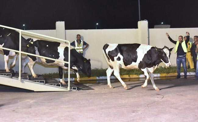 Qatar Gets First Herd Of Cows In Response To Arab Blockade