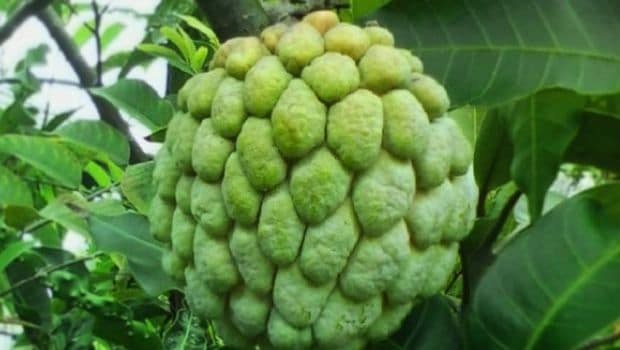 Images Of Custard Apple Trees