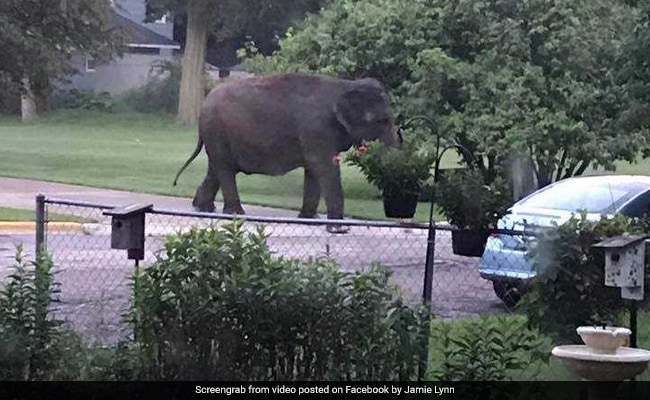 Elephant Escapes Circus In Search Of Early Morning Snack