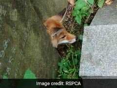 Fox Rescued From Cemetery After Making 'Grave' Mistake