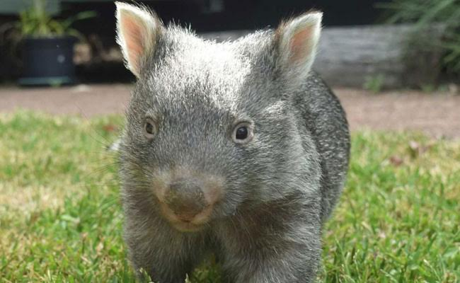 George The Wombat Turns 1, Warms Hearts Again