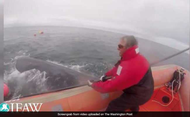 U.S. To Suspend Efforts To Free Trapped Whales After Canadian Rescuer Is Killed