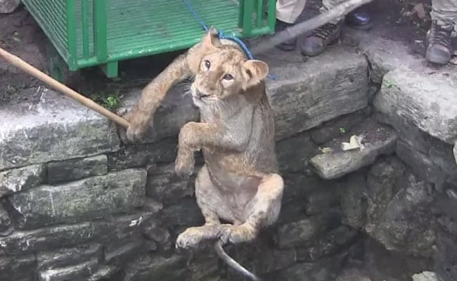 Caught On Camera: Lion Cub In Gir Rescued From 80-Feet Well