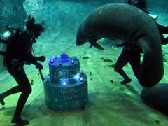 Manatee Gets Special Birthday Surprise, Party Includes Cake And Jazz