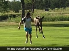 Watch: Moose Chases Man Around Golf Course, Friends Can't Help But Laugh