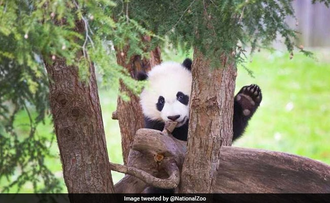 Watch: This Panda Keeps Falling Out Of Trees. The Internet Is Entertained