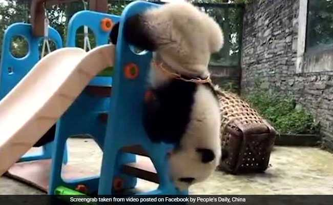 This Panda Doesn't Know How Basketball Hoops Work. The Result Is Adorable