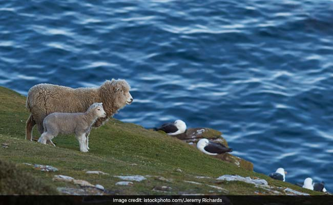 Bear Chases Hundreds Of Sheep Off A Cliff In France