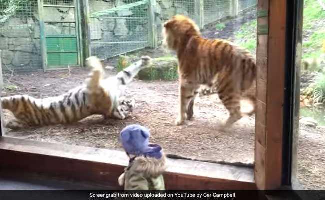 जब बाघ ने की बाघिन की नींद तोड़ने की गुस्ताखी, देखते ही देखते वायरल हो गया वीडियो...