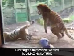 Watch: This Grumpy Tiger's Reaction To Being Woken Up Is Viral Again