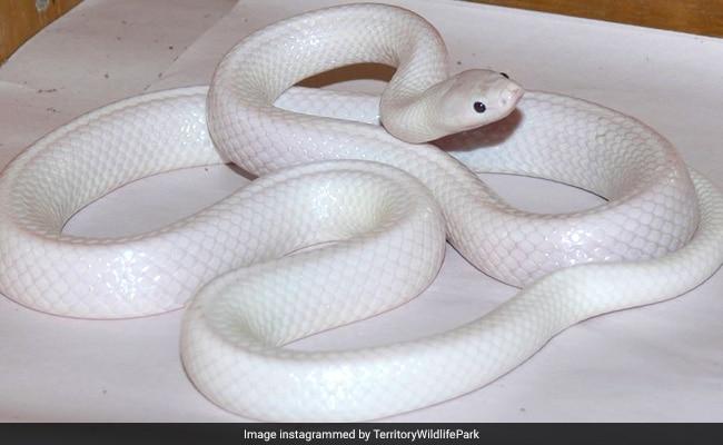 Rare White Snake Found In Australia. See Pics Here