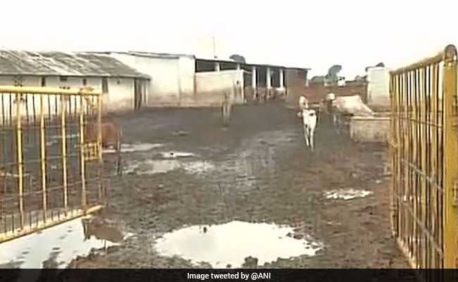 Chhattisgarh BJP Leader Arrested After 27 Cows Die At His Cowshed