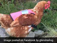 These Chickens Wearing Pink Vests Is The Cutest Thing You'll See Today