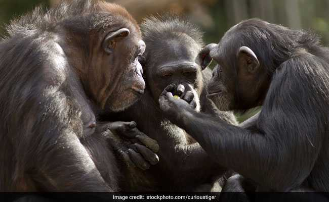 Chimps Can Play Rock-Paper-Scissors Game: Study
