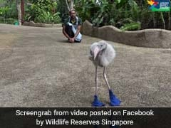 Watch: This Baby Flamingo Loves Walking In His Shiny Blue Boots