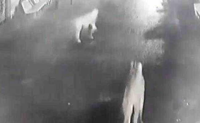 Gulp. CCTV Shows Evening Stroll Of Gir Lions Through Village