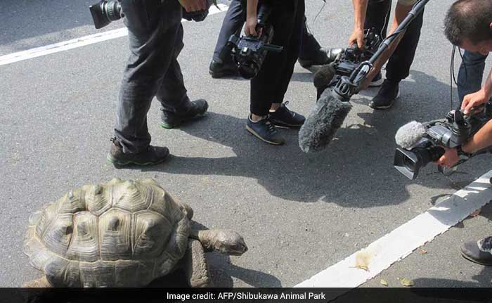 Giant Tortoise That Fled Zoo Twice Found 140 Metres Away