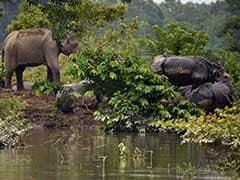 Assam Flood: Kaziranga Rhinos Flee To High Ground