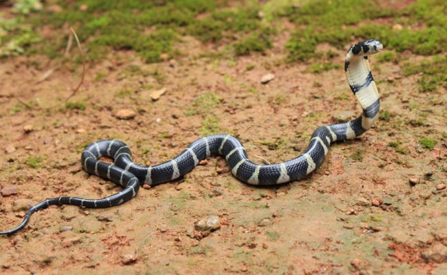 In Kerala, 3 Men Guarded King Cobra Eggs For Over 100 Days. See Pics