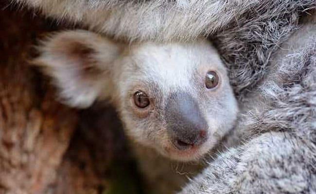 koala australian zoo afp 2 650