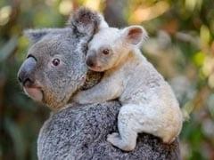 Rare White Koala Born At Australian Zoo. See The Adorable Pics