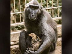 Loveless Monkey Adopts Chicken At Israeli Zoo. See Adorable Pics