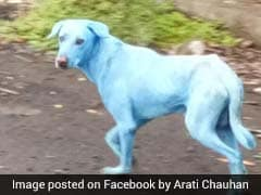 Dogs Turn Blue In Mumbai Suburb. It Could Be The Water