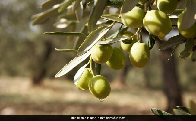 Rajasthan to Soon Start Serving Olive Tea: Here are 6 Things Which Makes It a Must Try