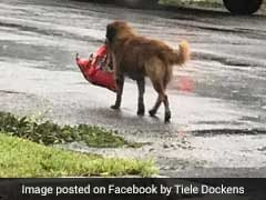Very Smart Dog Carries Bag Of Food During Hurricane, Goes Viral