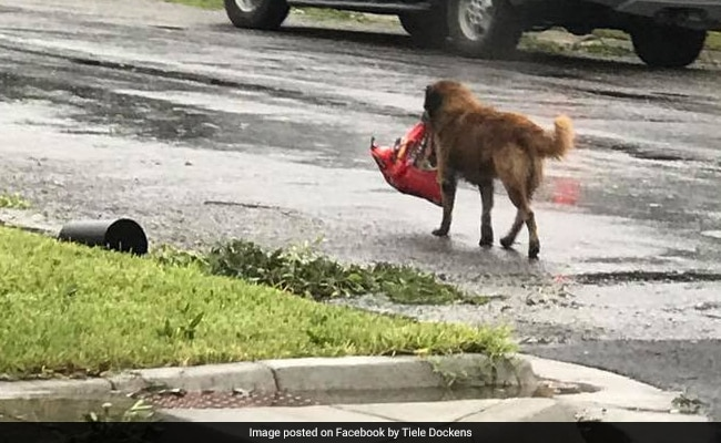 Dog spotted carrying bag of dog food after Harvey