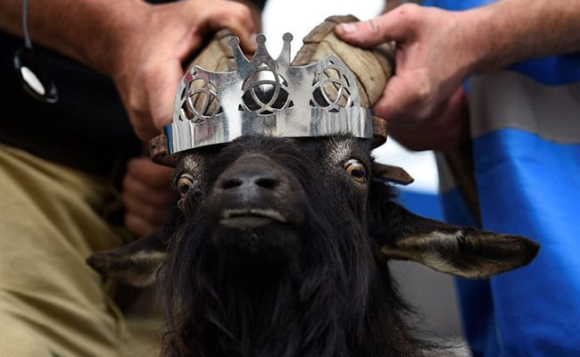 In Remote Irish Town, Goat To Be Crowned King. For A Few Days