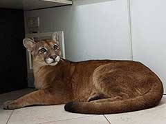 Watch: Employees Enter Office, Find Roaring Puma Under Desk