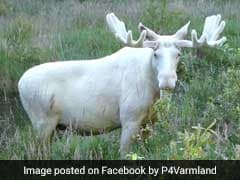 A Rare And Elusive White Moose Has Finally Been Captured On Video