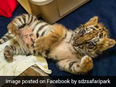 Adorable Baby Tiger Being Smuggled Into US From Mexico Rescued