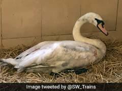 Swan On Train Tracks Leaves London Commuters In A Flap
