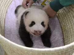 Monday Blues? Enjoy This Video Of A Fluffy Panda Cub Opening Its Eyes