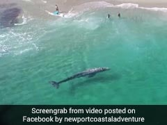 In Incredible Video, 20-Foot Baby Whale Swims Within Feet Of Beachgoers