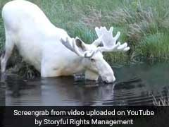 Video: Rare White Moose Caught On Camera. Only 100 Of Them Exist In Sweden